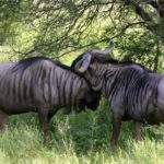 SOUTH AFRICA ECONOMY HUNT Wildebeest_1