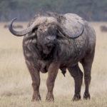 Cape Buffalo (Syncerus caffer) by GaryKramer.net, 530-934-3873, gkramer@cwo.com