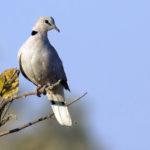 Cape-Turtle-dove