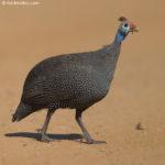 Guinea Fowl-Helmeted