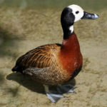 Whitefaced Duck
