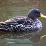 Yellowbilled Duck